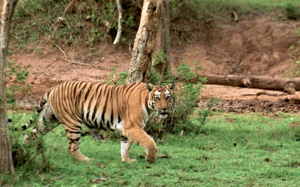 Tiger in Bandipur National Park. Photo by A.S. Hari.