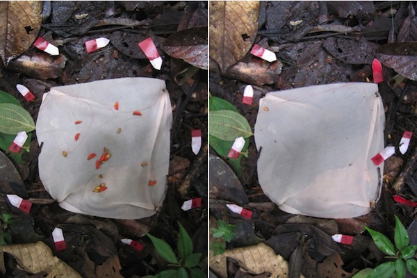 The researchers tied tiny flags to the seeds to follow their progress. The photo on the left was taken after set-up; the photo on the right was taken the next day after the ants had moved the seeds. Photo by Gallegos et al.