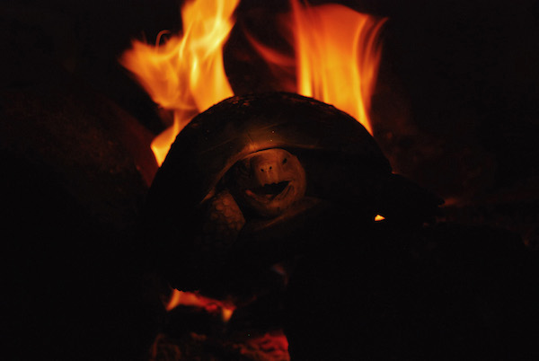 A Travancore tortoise cooks in a fire.  Photo by A. Kanagavel.