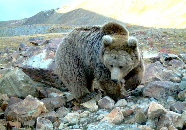 A sketch of the yeti: saving the Himalayan brown bear Himalayan Brown Bear Yeti