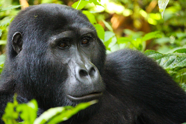 A pensive gorilla in Bwindi Impenetrable National Park.