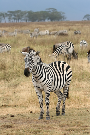 A plains zebras (Equus quagga) in Ngorongoro Crater in Tanzania. Photo by Muhammad Mahdi Karim.