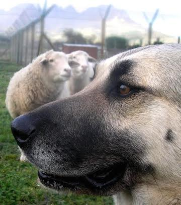 Dogs are commonly used to guard livestock in the U.S. and Canada. Photo by Niki Rust.