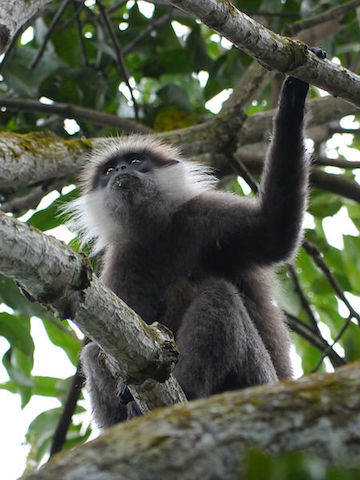 Purple-faced langurs (<i>Trachypithecus vetulus</i>) are endemic to Sri Lanka. They are decreasing in number due to development of their habitat and are currently listed as Endanged by the IUCN. Photo by Jeroen84.