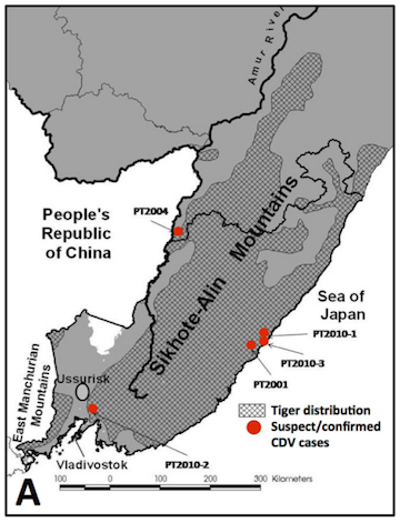 Siberian tiger range and locations of confirmed distemper infection. Image courtesy of Seimon et al., 2013.