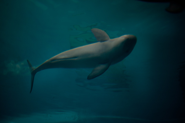Finless porpoises play in tanks at the Freshwater Dolphin Research Center in Wuhan, China. Photo: Dominic Bracco II