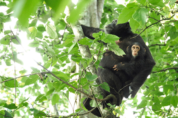A female chimpanzee and her baby must watch for wire snares as they move along treetops of their forest home in Uganda. Hunting is one of the biggest threats to chimpanzees' survival.