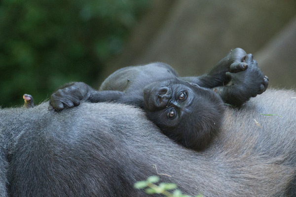 Western lowland gorillas are designated as Critically Endangered by the IUCN, each birth is a great step for gorillas.