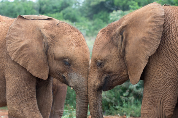 David Sheldrick Wildlife Trust's Orphans' Project has a successful rehabilitation program where young elephants that have lost their families are nurtured.