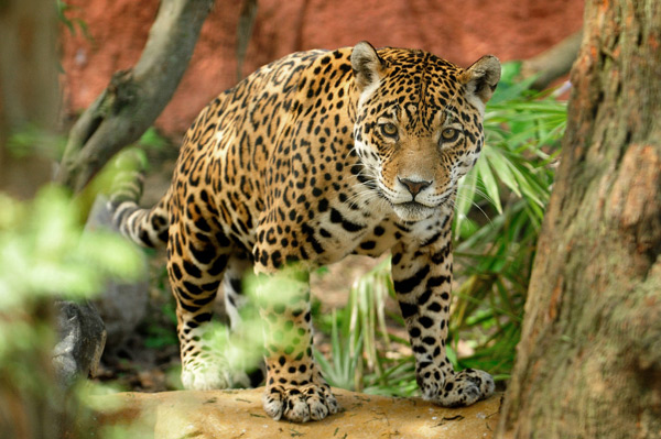 Jaguars can be identified by their pattern of black spots, called rosettes, as each cat's spots are unique.