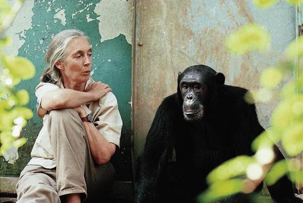 La Dra. Jane Goodall con Freud, un chimpancé de Gombe.