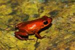 New poison dart frog needs immediate conservation plan