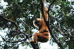 Gibbon species pushed towards extinction as island loses its trees