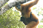 Saving the world's rarest primate: can it be done?