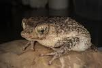Puerto Rico's only native toad bounces back from edge of extinction