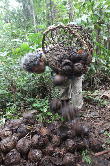 At the end of the day, a harvester may haul more than 60 kilos of Brazil nuts out of the forest on his back. Photo by Barbara Fraser.