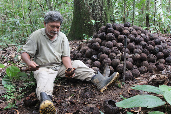 Mario Montes, 58, splits a Brazil nut pod open to empty out the seeds; he will leave the pods to decompose on the forest floor. Photo by Barbara Fraser.