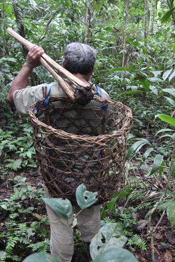 Harvesters use a handmade wooden tool called a pallana to pick up the Brazil nut pods and flip them into a backpack-style basket. Photo by Barbara Fraser.