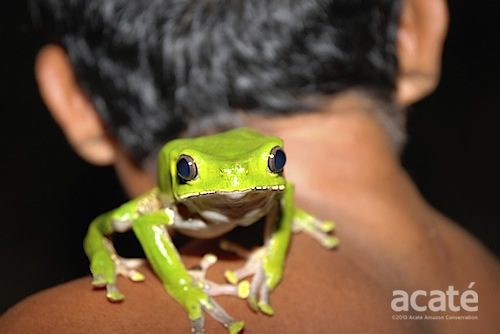 The giant monkey frog (Phyllomedusa bicolor)