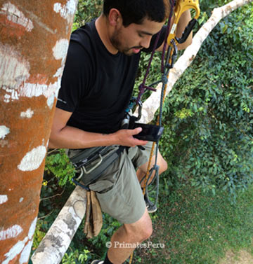 Gene Estrada, perched in the limbs of a mid-sized tree, during tree-climbing lessons as a part of a field course. Later he would summit an emergent tree, nearly 30 m tall, once his training is complete. Photo credit: Gideon Erkenswick Watsa