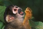 One of Brazil's rarest primates still holds out in single patch of rainforest