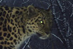 Photos: Amur leopard population hits at least 65