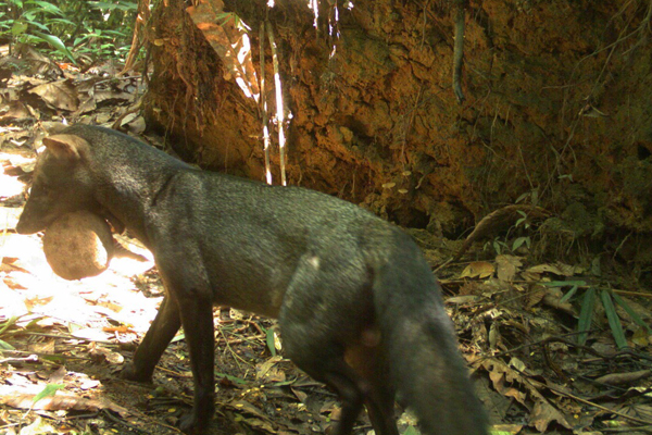 A cryptic and rare short-eared dog caught on camera trap during the expedition. It has a large fruit in its mouth as the short-eared dog eats a significant amount of fruit. Photo by: Patricia Alvarez Loayza and Mario Escobedo.