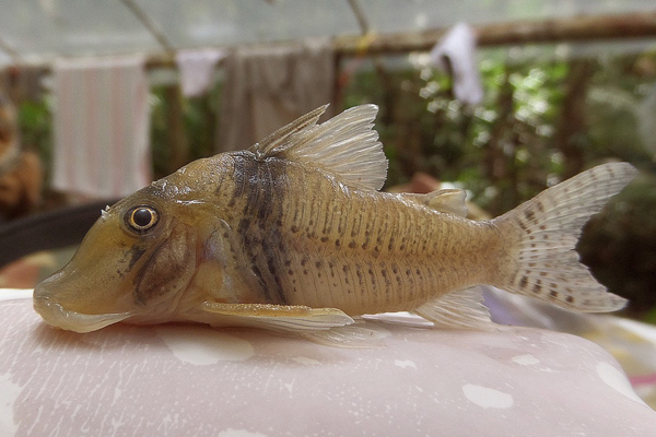 Freshwater fish from the region. One of 181 fish species recorded in the region out of an estimated 400. Photo by: Isabel Corahua.