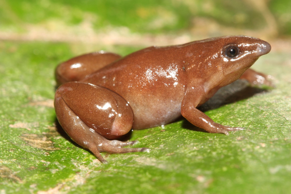 A frog from the region out for the 74 recorded during the rapid inventory. Scientists estimate that 120 are in the region. Photo by: Giussepe Gagliardi Urrutia.