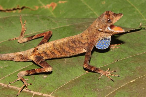 Gorgeous Amazonian lizard from the Tapiche-Blanco region. Photo by: Giussepe Gagliardi Urrutia.