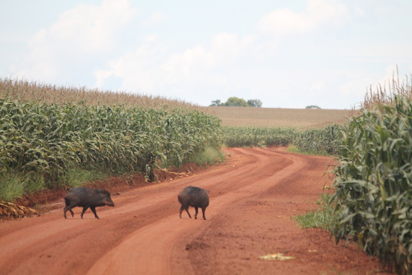 Cerrado corn crop with peccaries. Photo by Brendan Borrell.