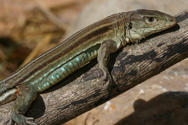 'The Ameiva nodam lizard named to raise awareness of the proposed dams. It is one of many species discovered by German herpetologist Claudia Koch in the Marañón valley.' Photo credit: Claudia Koch