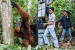 Orangutan rescued amid sea of palm oil