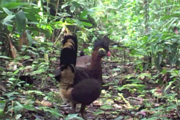 Rare record of the nocturnal curassow in daylight. Photo courtesy of camera trap video compilation from Tiputini Biodiversity Station.