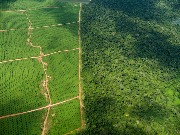 Two palm oil plantations have recently been established in Peru, supplanting  primary forest. Photo courtesy of EIA.
