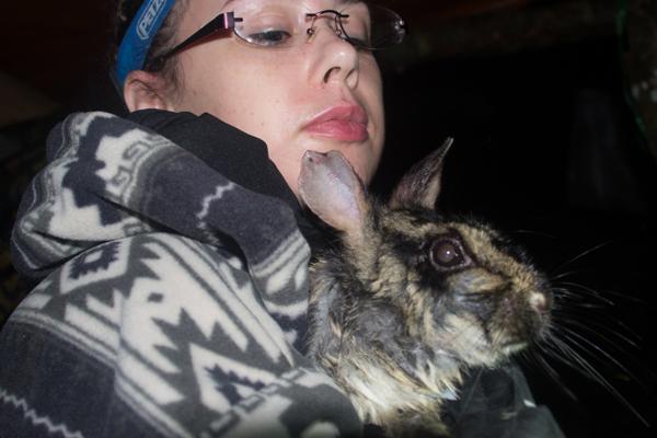 annamite striped rabbit