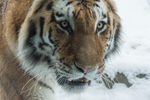 Happy tigers: Siberian population continues to grow