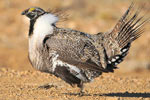 Saving the greater sage grouse, the most hotly-debated bird since the spotted owl (PHOTOS)