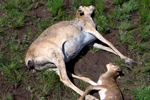 Conservationists appeal to donors after mystery kills 134,252 saiga