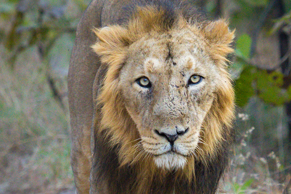 Asiatic lion. Photo by: Sumeet Moghe.