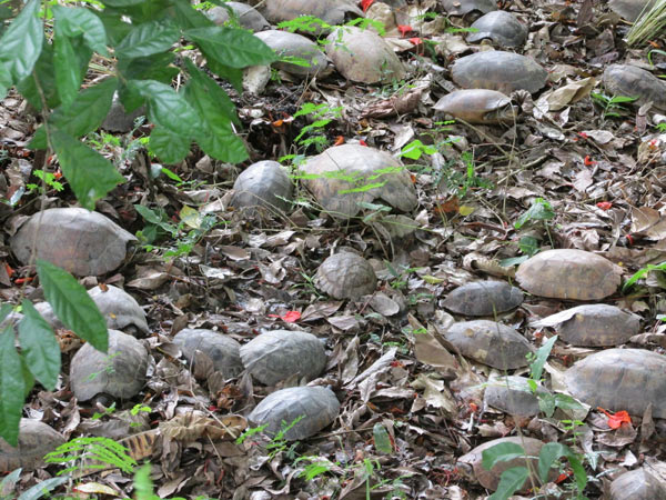 The healthiest 2,200 turtles have been released back into their natural habitat, with the hope that they will survive the trauma of their captivity and be able to avoid future collection. Photo credit: Dr. Sabine Schoppe, Katala Foundation.