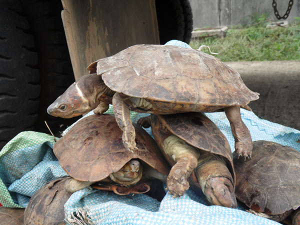 Philippine forest turtles are shy, solitary animals, and are highly stressed when kept in large groups. Photo credit: Dr. Sabine Schoppe, Katala Foundation.