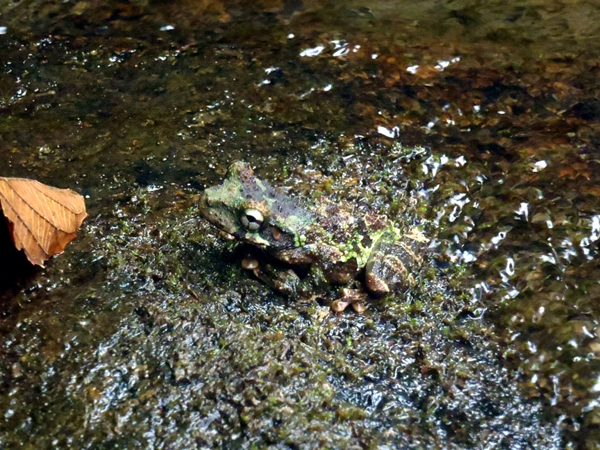 Hundreds of species of amphibians in the Napo Basin like this Eirunepes snouted tree frog (Scinax garbei) depend on the natural fluctuations and pulses of the river's flow to maintain their habitat conditions. Photo credit: Ecuadorian Rivers Institute.