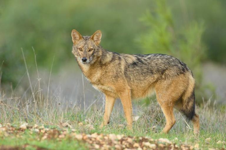 The jackal that turned into a wolf: new species discovered in Africa