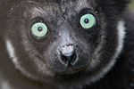 $7 million could save lemurs from extinction