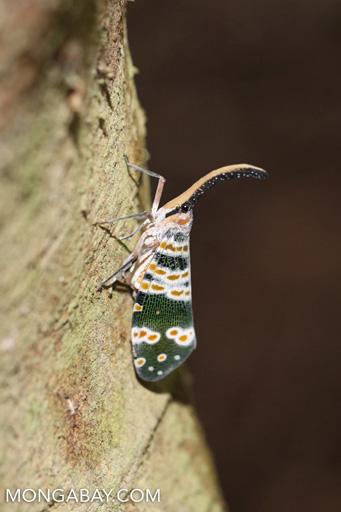 Green, white, and orange planthopper