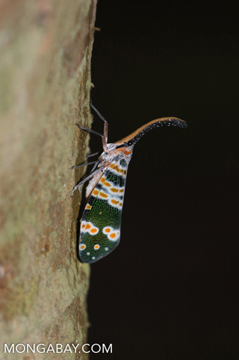 Green, white, and orange planthopper