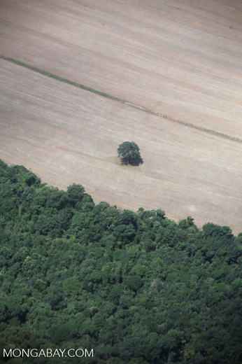 Lone Brazil nut tree left standing in a deforested area