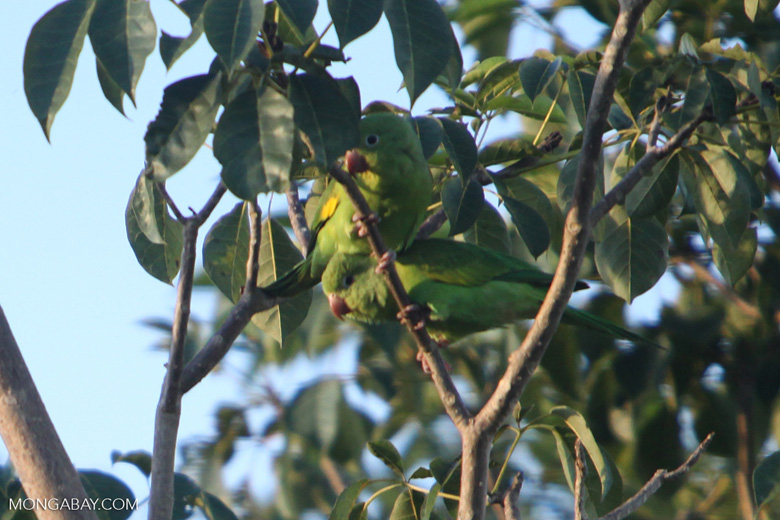Yellow-chevroned Parakeets (Brotogeris chiriri) [brazil_0693]