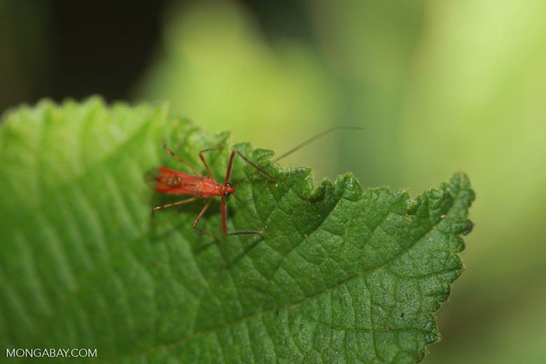 Red Assassin Bug, family Reduviidae